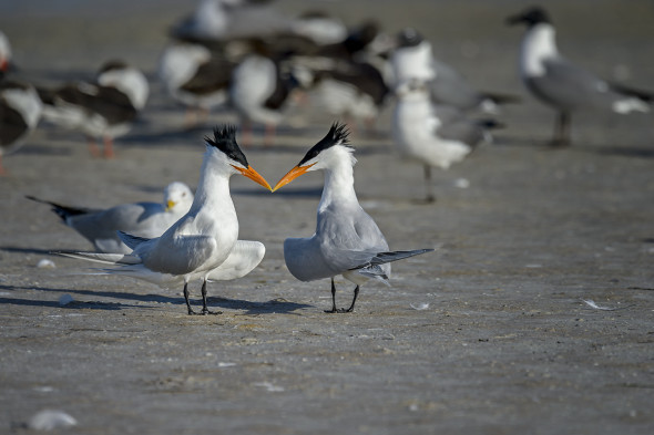 Two Royal Terns (Thalasseus maximus) in breeding plumage beginning their courtship.