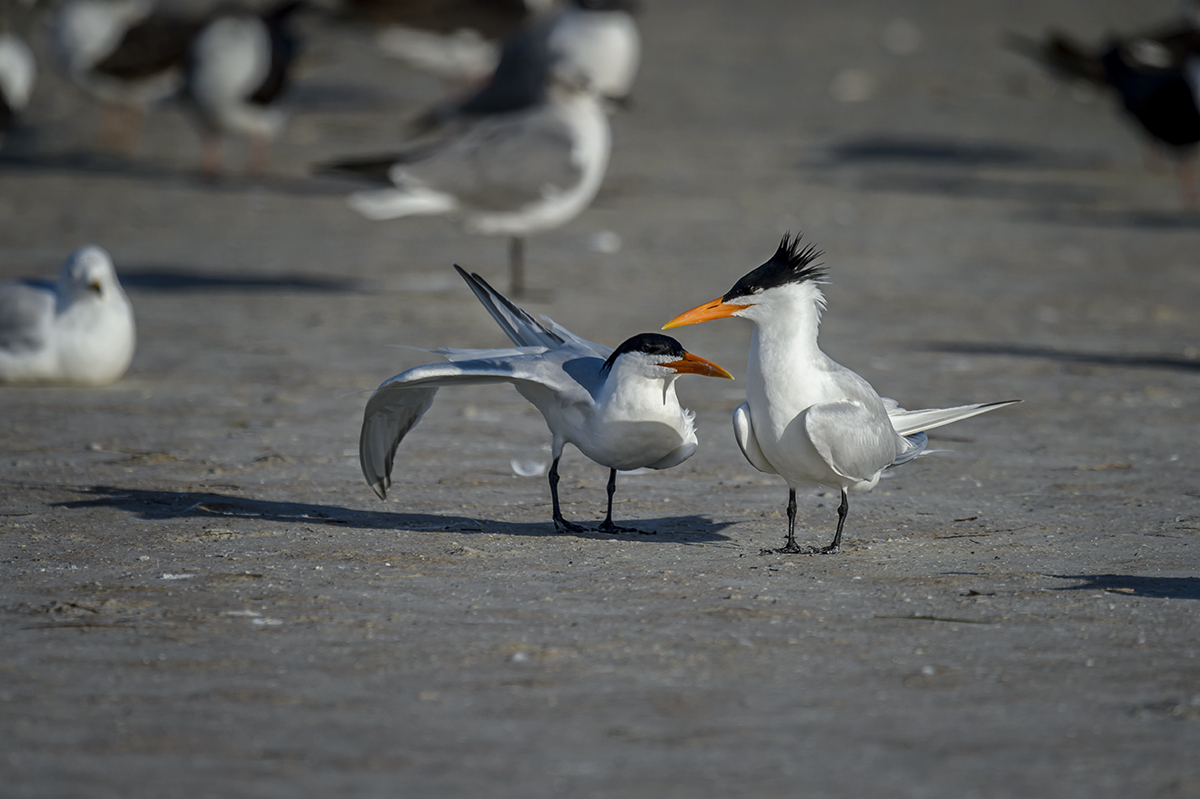 Things To Do On The Beach – 05 » Royal-Tern-(Thalasseus-maximus)-Fort-De-Soto-County-Park-RKing-15-009779-vv
