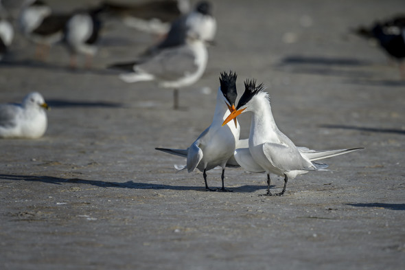 Royal-Tern-(Thalasseus-maximus)-Fort-De-Soto-County-Park-RKing-15-009786-vv