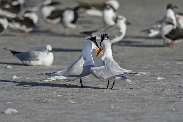Royal-Tern-(Thalasseus-maximus)-Fort-De-Soto-County-Park-RKing-15-009820-vv