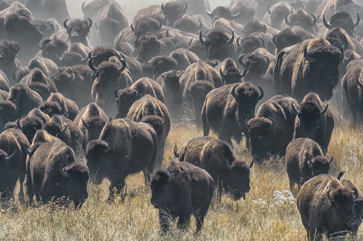 A Rare Experience in Custer State Park » Annual-Buffalo-Round-Up-Custer-State-Park,-SD-RKing-15-043553-vv