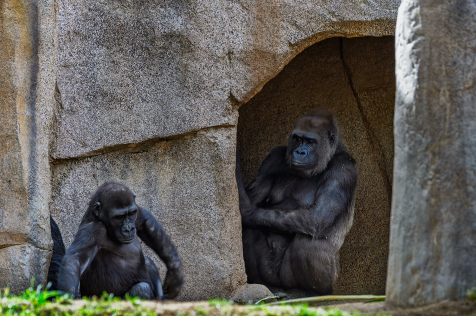 Silverback looking out for a family member