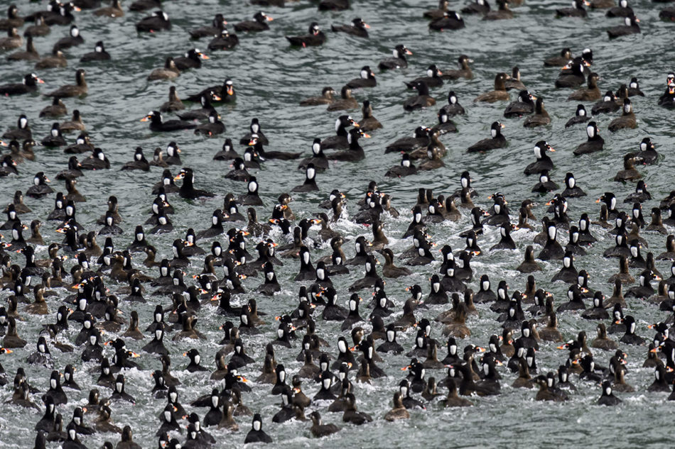 Surf Scoters, Black Scoters and White-winged Scoters feeding frenzy